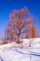 Single Oak Tree at Snowy Slope Landscape