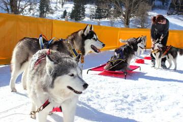 Musher bereitet Huskys und Hundeschlitten auf Rennen vor