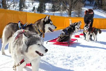 Gespann mit Huskys wird auf ein Rennen vorbereitet