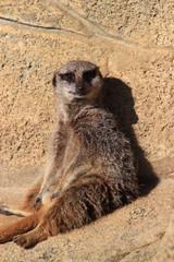 suricate assis (meerkat)