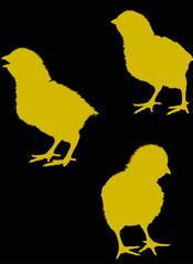 three newborn chicken silhouettes isolated on black