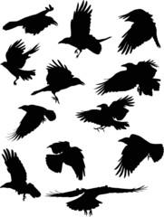 set of twelve black crows isolated on white