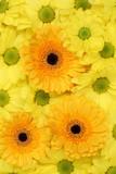 Blumen Chrysanthemen Hintergrund Frühling, Geburtstag oder Mutt poster
