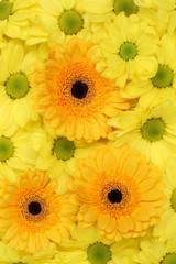 Blumen Chrysanthemen Hintergrund Frühling, Geburtstag oder Mutt
