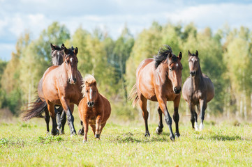 Herd of horses running on the pasture in summer