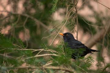 Amsel singt auf Zweig