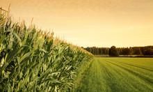 """Постер, картина, фотообои """"cornfield at sunset"""""""