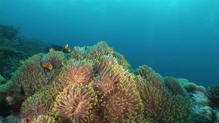 School of anemone
