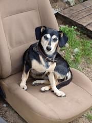 Dog on seat