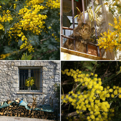 Mimosa on the French Riviera. Collage