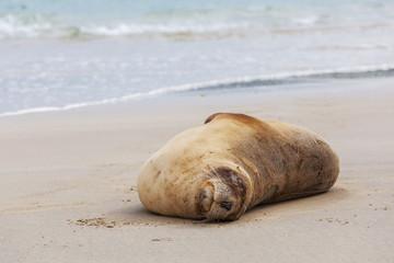 Sea Lion sleeping on the beach, Otago New Zealand