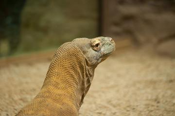 Komodo dragon's head close up