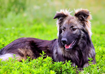 Big fluffy dog playing in the grass