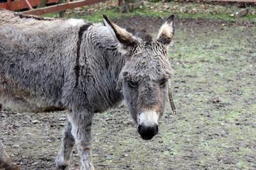 Brown-gray donkey