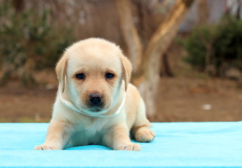cute yellow labrador puppy laying on the blue background