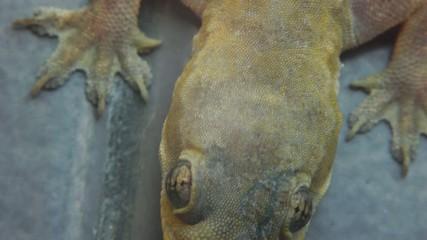 Stock Video Footage 1920x1080 Gecko Lizard Reptile Macro