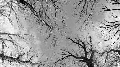 wintery elm trees