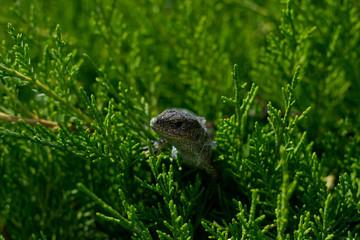 Lizard in the thuja green bush