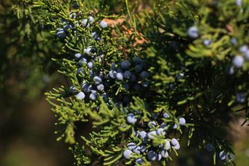 Juniper berries on the branch