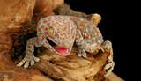 Fotoroleta Tokay Gecko (Gecko gecko)