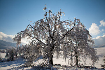 Two trees, snow, blue sky and sun