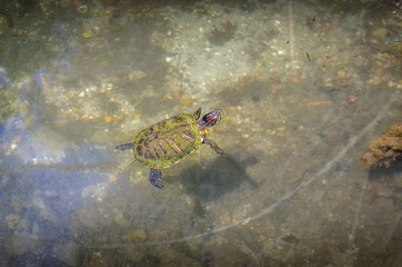 Turtle in water.