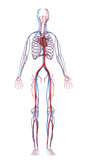 heart and cardiovascular circulatory