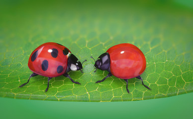 ladybug looking at a spotless ladybug