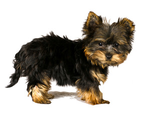 york terrier isolated on a white background