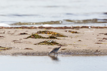 Curlew sandpiper at the beach