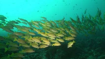 School of yellow Fish