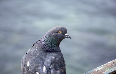 portrait of beautiful pigeon