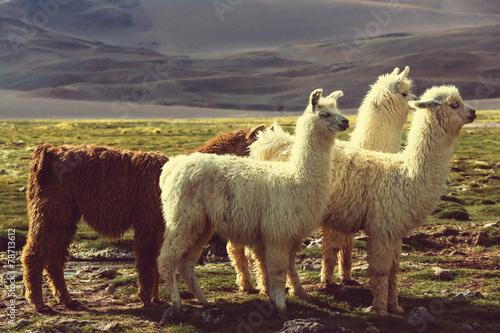 Foto op Aluminium Lama Llama