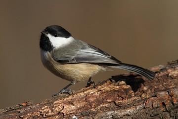 Carolina Chickadee on a branch