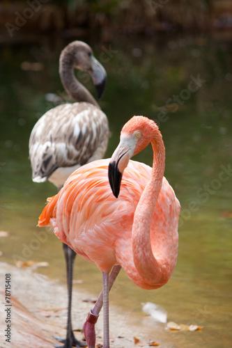 Foto op Aluminium Flamingo pink flamingo and walking by the water
