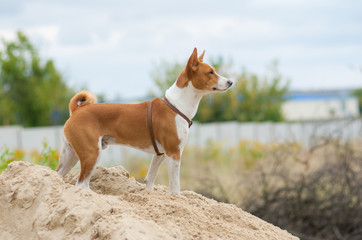 Brave basenji dog looking into the distance