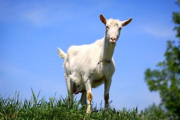 funny rural goat