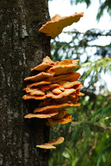 Several orange mushrooms growing on a tree