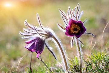 nice pasqueflowers