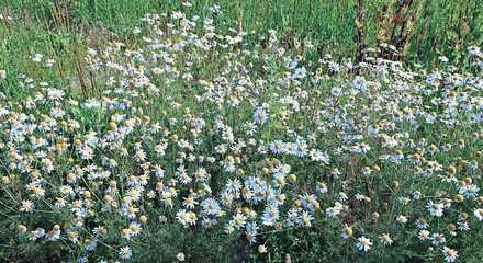 Thickets of flowers field of camomiles in summer day