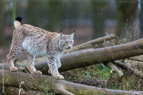 Papiers peints Lynx Northern Lynx