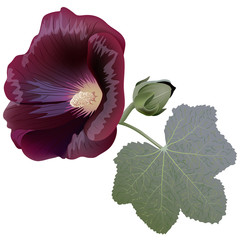 Claret mallow flower (alcea) isolated on white background