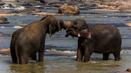 two elephants playing together in the water