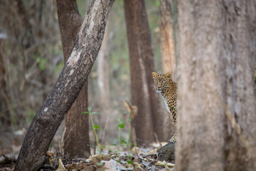 Leopard with habitat