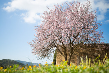 beautiful almond tree in spanish landscape in Majorca