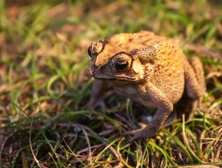 Portrait of a frog, Koh Samui, Thailand