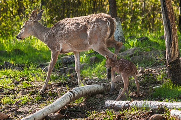 White-Tailed Deer (Odocoileus virginianus) Fawn Follows Mother