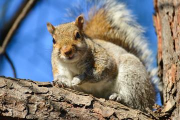 Eastern Gray Squirrel (Sciruus carolinensis)