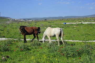 Horses eating grass on the green field
