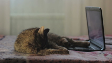 cat licks near laptop